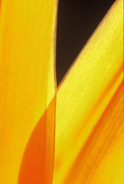 Backlit Cactus Leaf
