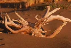 Driftwood In Sunset Light