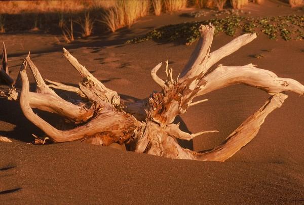 Driftwood In Sunset Light