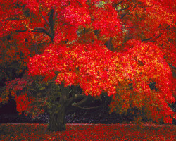 Fgallery 9-4red-tree