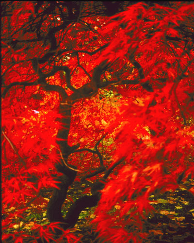 Fgallery9-10red-maple