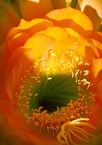 Center Of Cactus Flower