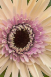 Varied Gerber Daisy