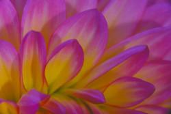 Purple Dahlia