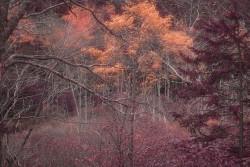 Maine trees IR copy