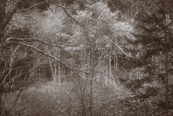 Maine trees IR sepia copy