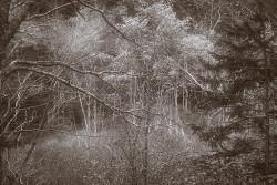 Maine trees IR sepia copy