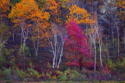 Maine trees aspens Velvia 50